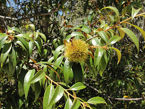 Description de l'image Chrysolepis chrysophylla foliage and fruit Big Basin State Park.jpg.