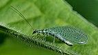 Chrysopidae 01 (MK).jpg