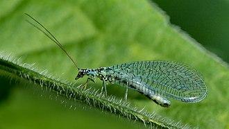 Chrysopidae - Chrysopa perla