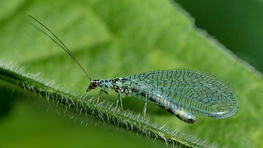 Green lacewing Chrysopa sp