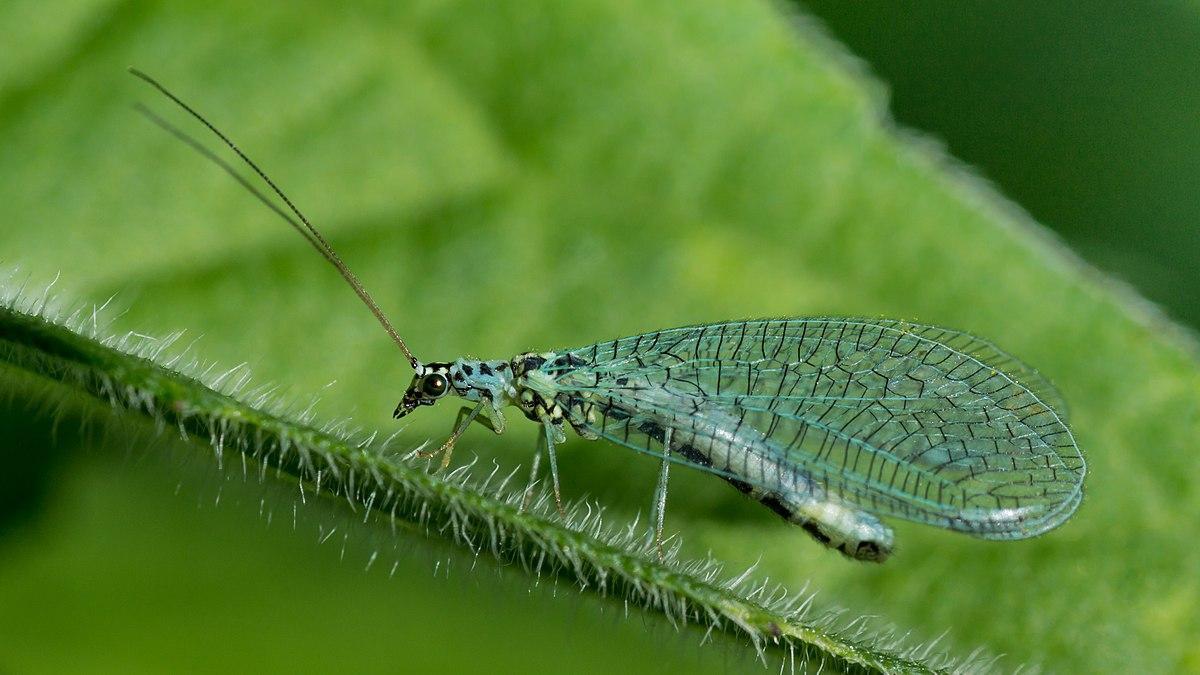Chrysopidae - Wikipedia