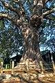 Cinnamomum camphora 20120909.jpg