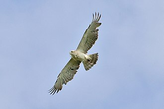 Eagle - Short-toed snake eagle in flight