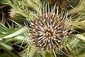 Cirsium drummondii - Flickr - aspidoscelis.jpg