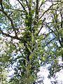 Cirsium scabrum 3 Gavoi 950m 20072014.jpg