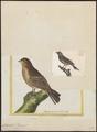 Citrinella hortulana - 1700-1880 - Print - Iconographia Zoologica - Special Collections University of Amsterdam - UBA01 IZ16100231.tif