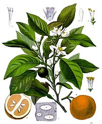 Citrus aurantium - Köhler–s Medizinal-Pflanzen-042