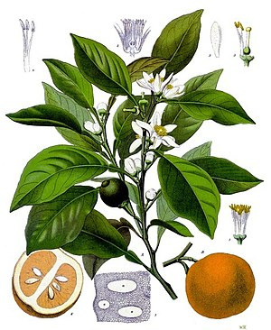 Neroli - Bitter orange foliage, blossoms and fruit
