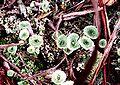 Cladonia grayi-4.jpg