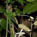 Clematis terniflora (bud s3).jpg