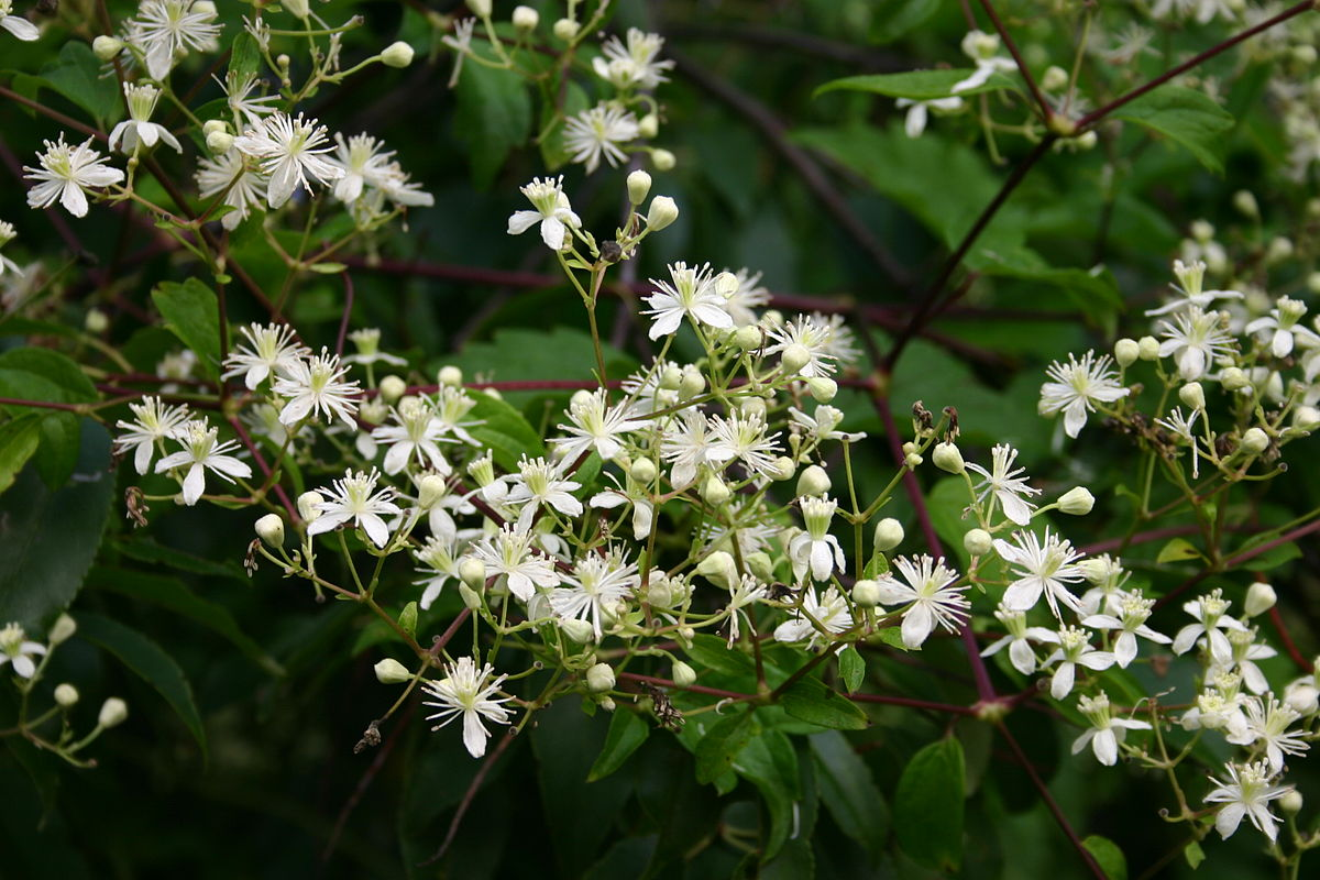 clematis virginiana wikipedia. Black Bedroom Furniture Sets. Home Design Ideas