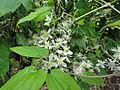Clematis virginiana SCA-03929.jpg