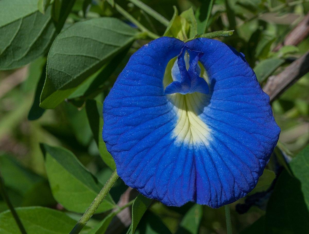 Clitoria ternatea – Wikipedia