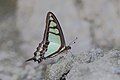 Close wing of Graphium cloanthus Westwood, 1841 – Glassy Bluebottle March 2016 Jayanti BTR (14).jpg