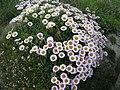 Clump of 'daisy-like' flowers - geograph.org.uk - 466888.jpg