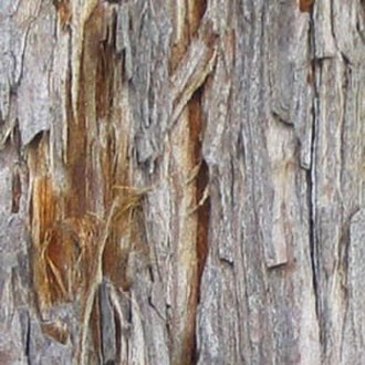 Sequoia sempervirens - Bark detail