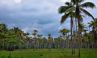 Coconut - Coconut plantation in India