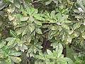 Codiaeum variegatum-1-ondikkadai-yercaud-salem-India.JPG