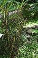 Codiaeum variegatum 47zz.jpg