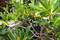 Codiaeum variegatum pictum 1zz.jpg