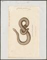 Coecilia glutinosa - 1700-1880 - Print - Iconographia Zoologica - Special Collections University of Amsterdam - UBA01 IZ11400061.tif