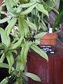 Coelogyne pandurata2.jpg