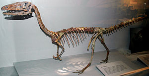 Coelophysis - Mounted skeleton at the Cleveland Museum of Natural History