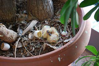 Čerstvo vyliahnuté mláďatá hrdličiek