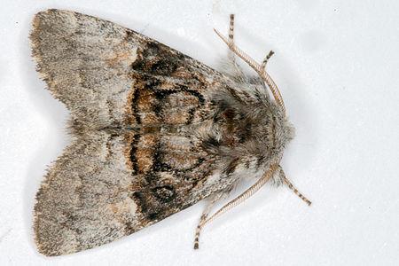 Colocasia coryli, Lodz(Poland)01(js).jpg