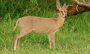 Common duiker - Image: Common Duiker (Sylvicapra grimmia) (6011670419)
