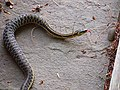 Common Eastern Garter Snake (7405014048).jpg