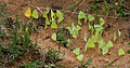 Common Emigrant (Catopsilia pomona) & Lime Butterfly (Papilio demoleus) mud-puddling W IMG 0177.jpg