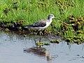 Common Greenshank - പച്ചക്കാലി (13033325763).jpg
