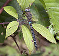 Common Hawker Dragonfly 2 (3900002149).jpg