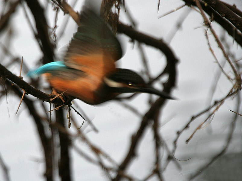 Common Kingfisher (Alcedo atthis) in Hyderabad W IMG 8523