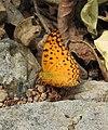 Common Leopard Phalanta phalantha by Dr. Raju Kasambe DSCN0554 (4).jpg