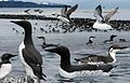 Common Murre From The Crossley ID Guide Eastern Birds.jpg