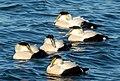 Common eider males at Jones Beach (04676).jpg