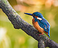 Common kingfisher, October 2015, Osaka V - (2).jpg