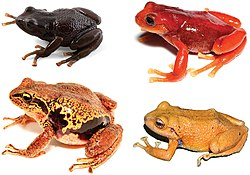 Comparison of Pristimantis erythros with another species.jpg