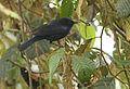 Conirostrum albifrons (male) -NW Ecuador-3.jpg