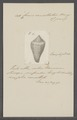 Conus cancellatus - - Print - Iconographia Zoologica - Special Collections University of Amsterdam - UBAINV0274 085 10 0051.tif