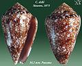 Conus dalli 2.jpg
