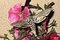 Convolvulus hawk-moth (NH266) (11100123304).jpg