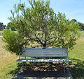 Cootamundra War Memorial Lone Pine & Bench.JPG