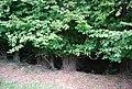 Coppiced trees by the Tunbridge Wells Circular Path - geograph.org.uk - 2122739.jpg