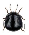 Coptosoma scutellatum.png