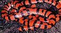 Coral Cylinder Snake (Anilius scytale) (7774184186).jpg