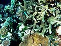 Corals with fish.JPG