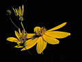 Coreopsis major FWS-1 4x3.jpg